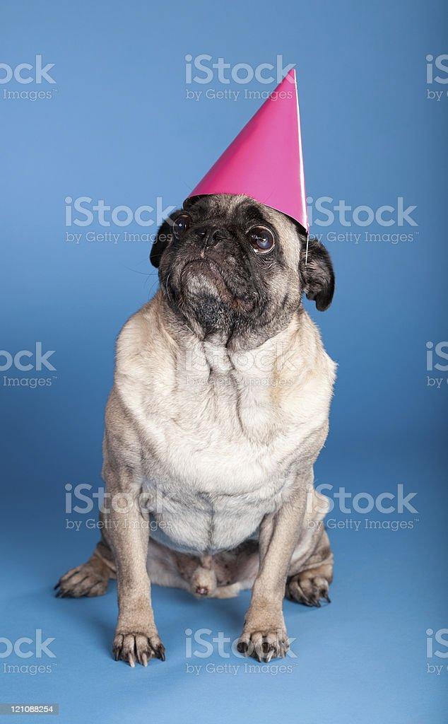 Mops Hund Tragt Geburtstag Hut Stock Fotografie Und Mehr Bilder Von