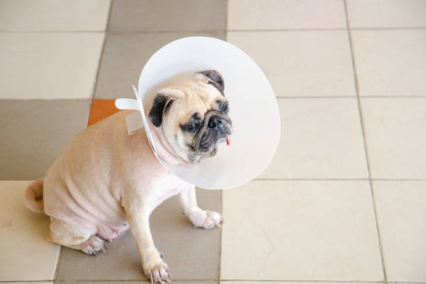 Pug dog while wearing Elizabethan collar neck in the shape of a cone for protection its to scratch eyes stock photo