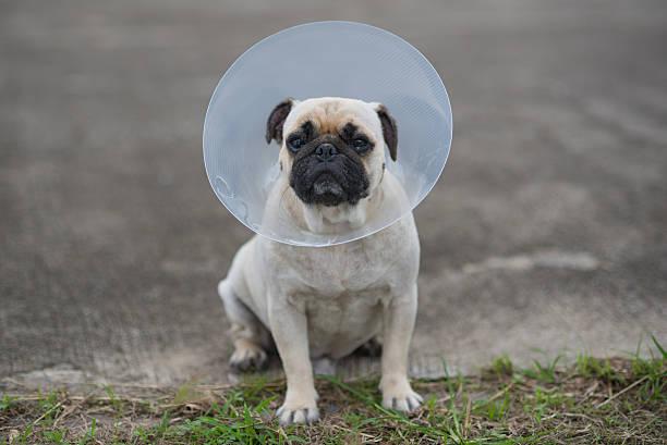 Pug dog while wearing Elizabethan collar stock photo