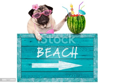 istock pug dog with blue vintage wooden beach sign and watermelon cocktail, isolated on white background 686773866