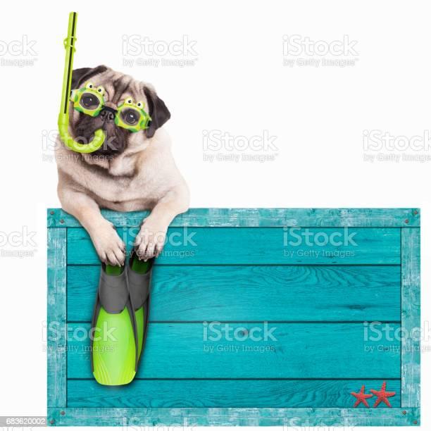 Mops Hund Mit Blauer Vintage Holz Strand Zu Unterzeichnen Mit Brille Schnorchel Und Flossen Für Den Sommer Isoliert Auf Weißem Hintergrund Stockfoto und mehr Bilder von Hund