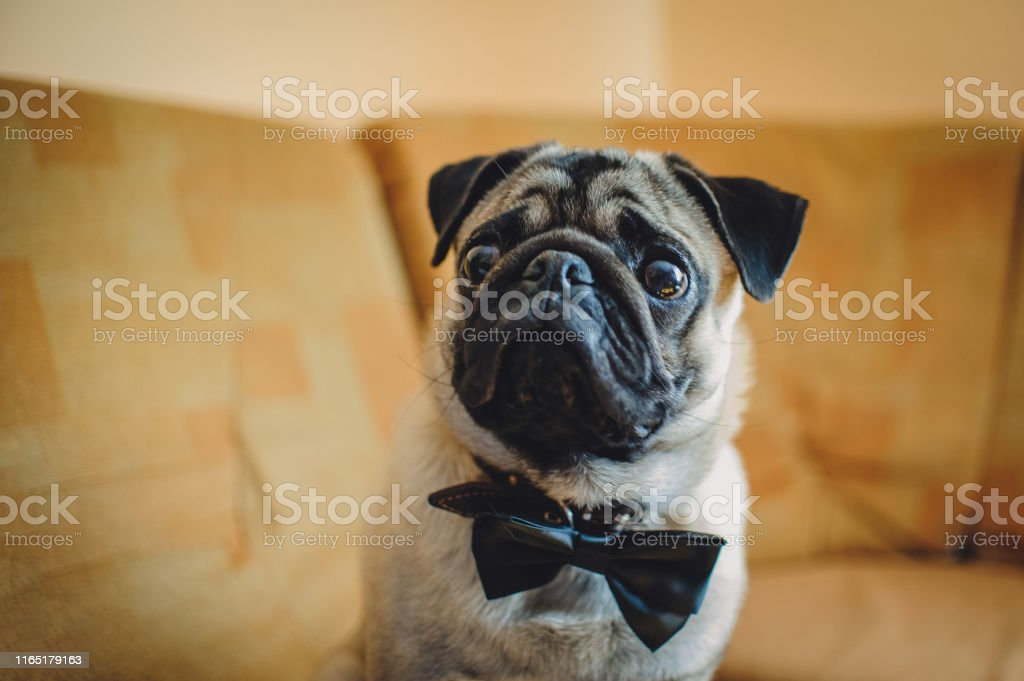 Pug, dog with bow-tie on brown background. Cute friendly chubby pug...