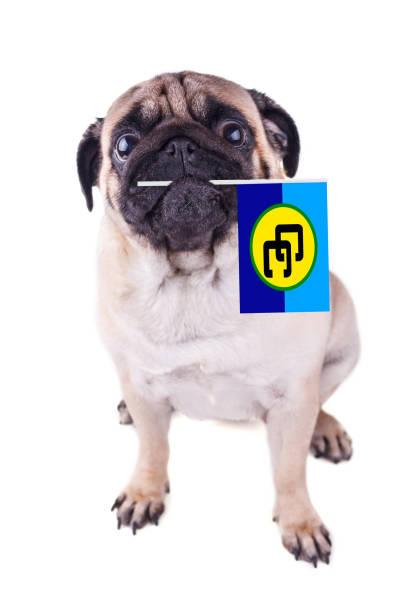 ağız karayip topluluk bayrağı ile pug köpek. caricom günü. izole - k logo stok fotoğraflar ve resimler