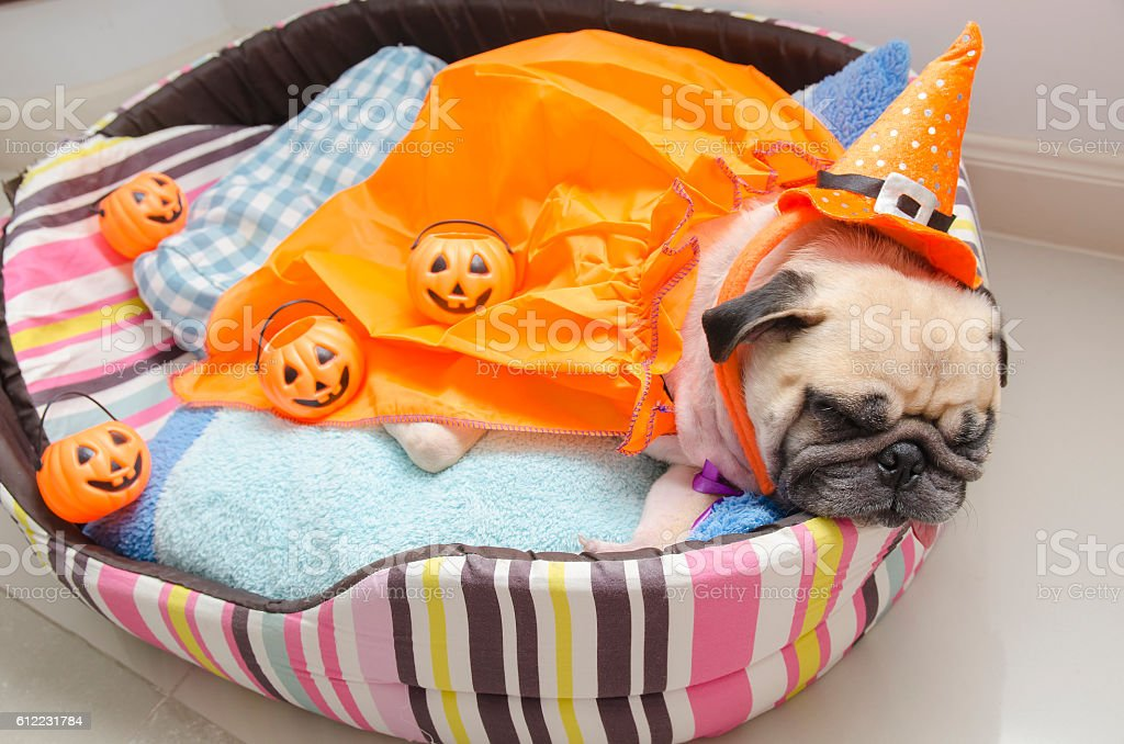 Pug dog with halloween costume sleep rest on bed royalty-free stock photo & Pug Dog With Halloween Costume Sleep Rest On Bed Stock Photo u0026 More ...