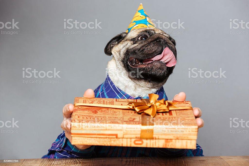Mopshund Mit Mann Hande Mit Geburtstag Hut Halten Geschenk Stock