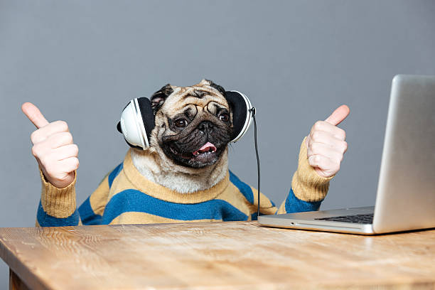 Cão Pug com mãos de homem em fones de ouvido mostrando afirmativo - foto de acervo