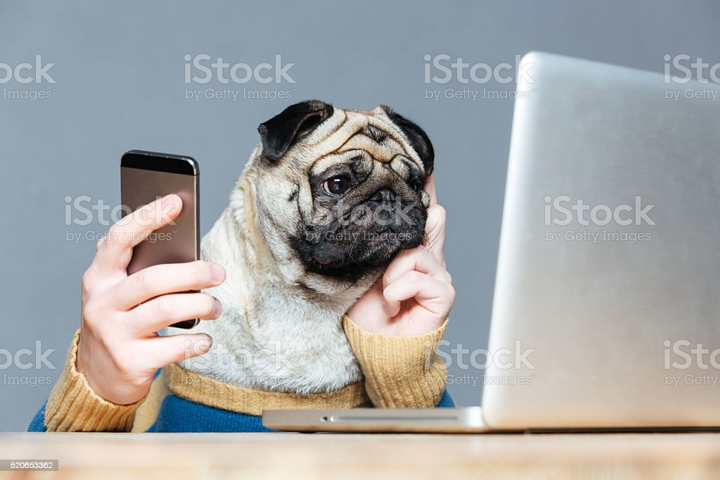 Pug dog with man hands using laptop and cell phone stock photo