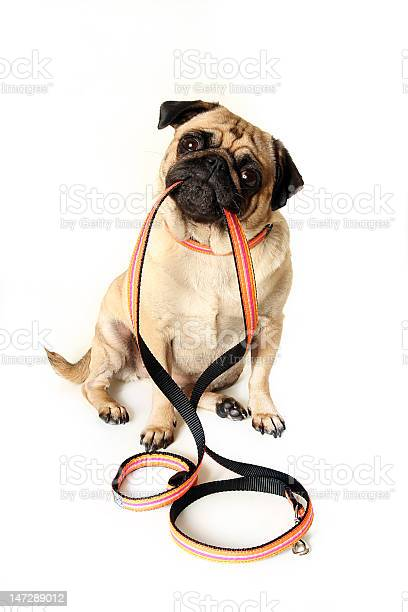 Pug doggie sitting down with orange leash in his mouth picture id147289012?b=1&k=6&m=147289012&s=612x612&h=9ytlxokakeghyj133nye7whffxtknab6 d kvslm5cy=
