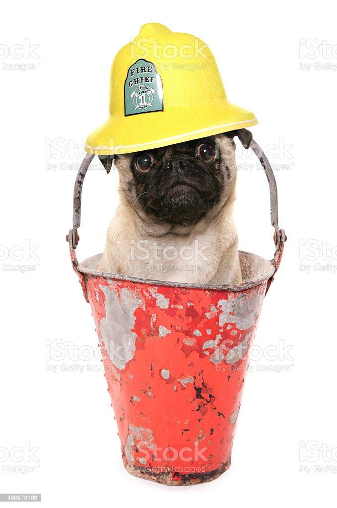 pug fireman character stock photo