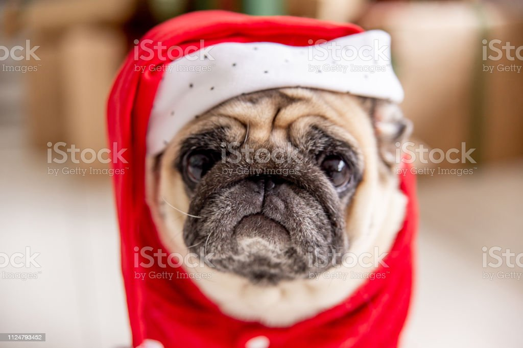 pug in santa costume and hat sitting under christmas tree with gifts