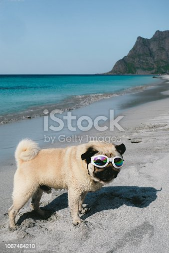 531058808istockphoto Pug in sunglasses chilling at the beach on Lofoten Islands in Norway 1067464210
