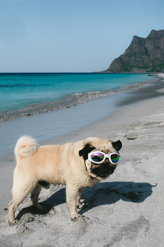 531058808 istock photo Pug in sunglasses chilling at the beach on Lofoten Islands in Norway 1067464210