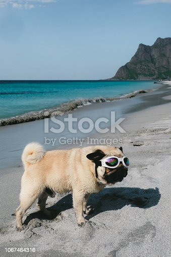 531058808istockphoto Pug in sunglasses chilling at the beach on Lofoten Islands in Norway 1067464316