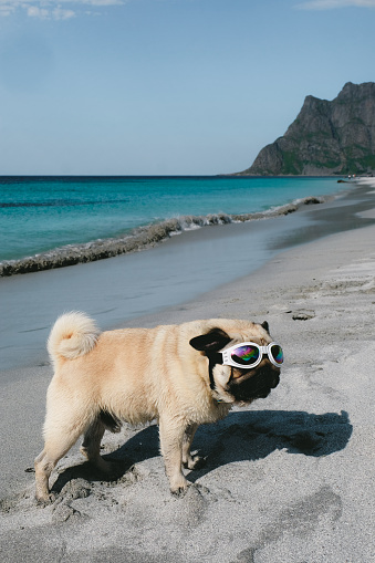 531058808 istock photo Pug in sunglasses chilling at the beach on Lofoten Islands in Norway 1067464316