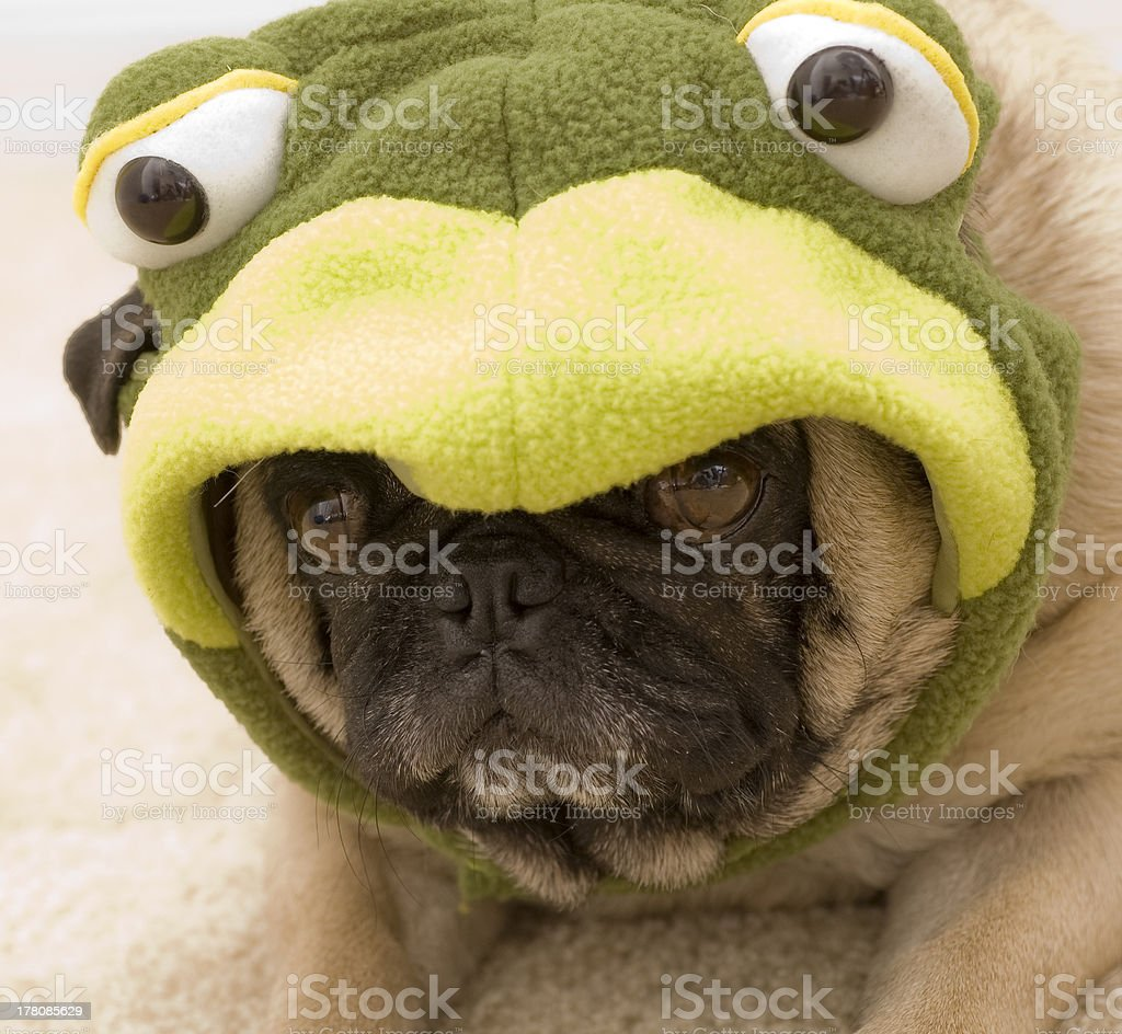 Pug In Turtle Costume Stock Photo Download Image Now Istock
