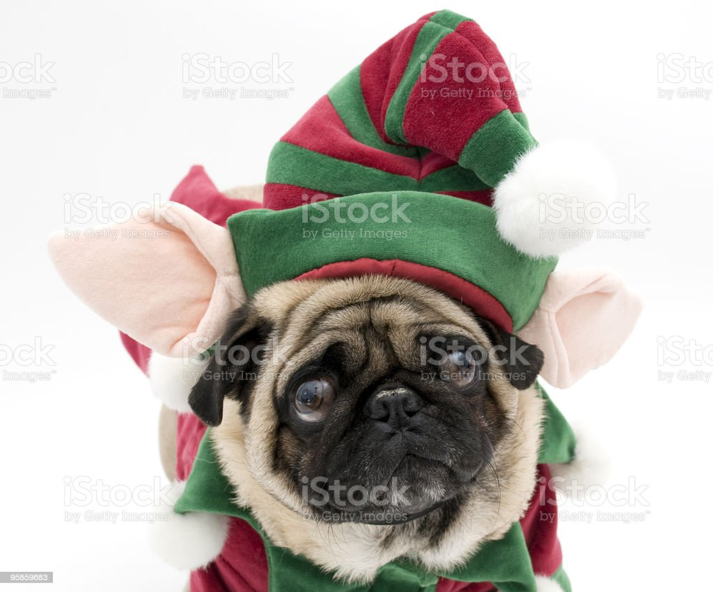 A pug is wearing an elf costume royalty-free stock photo