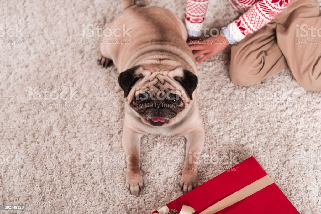 pug laying on carpet with gift box stock photo