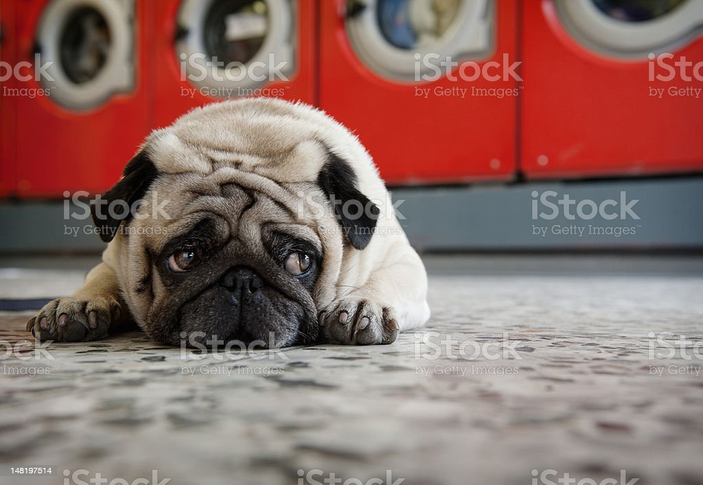 Pug laying on laundromat floor stock photo