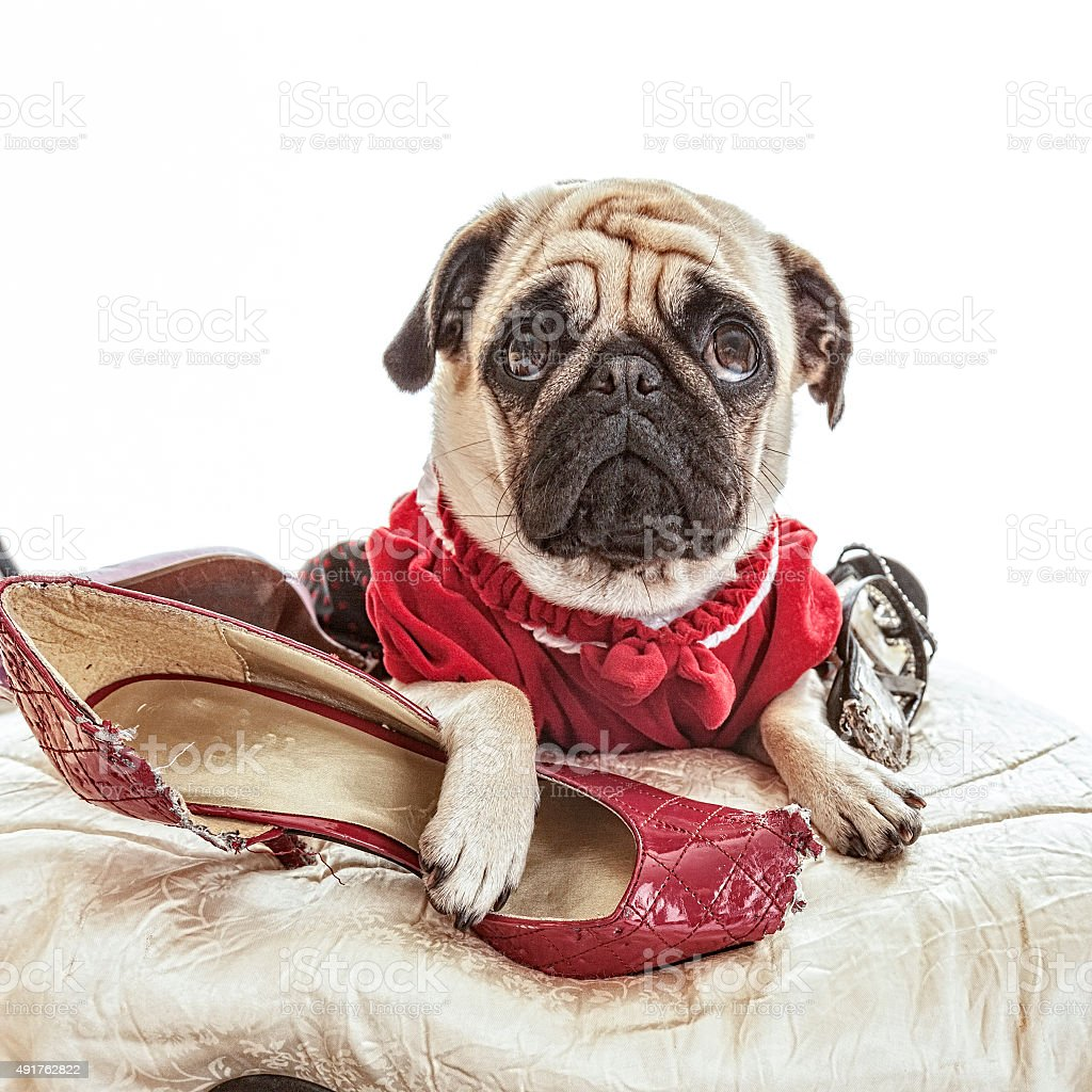 Pug Looking Innocent after Chewing on Dress Shoes stock photo