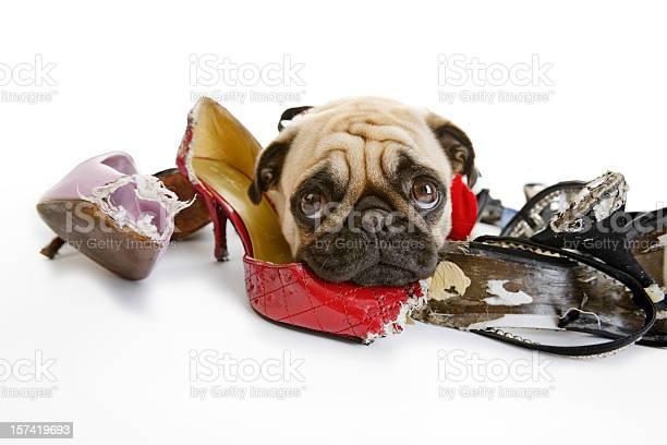 Pug looks sad after chewing on dress shoes picture id157419693?b=1&k=6&m=157419693&s=612x612&h=uolkeqrfm tuyyugv94fsmnotcilz28lpckj83yon g=