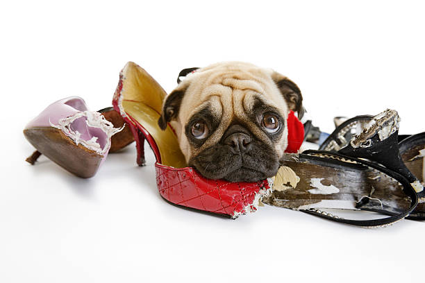 Pug Looks Sad after Chewing on Dress Shoes stock photo