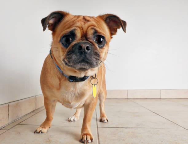 mops mischling hund - hunde aus dem tierheim stock-fotos und bilder