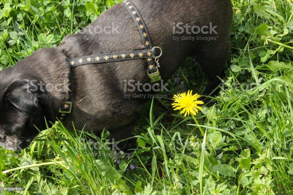 pug mops named adelheid in springtime royalty-free stock photo