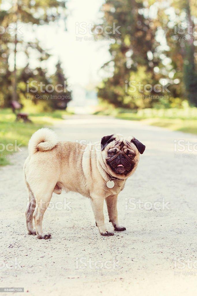 Pug on park stock photo