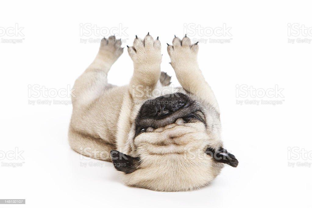 Pug on white background royalty-free stock photo