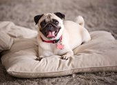 Cute Pug dog on pillow