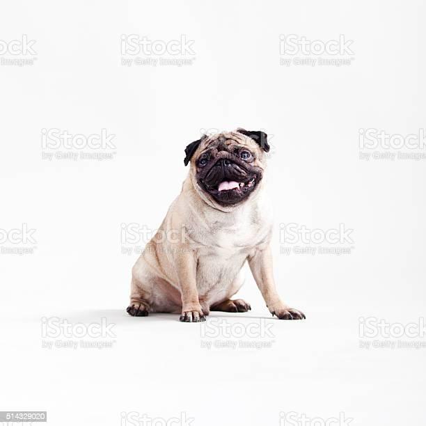 Pug picture id514329020?b=1&k=6&m=514329020&s=612x612&h=erbjchqs6tr92pjigsflm6 49c 6tkln8xl207wbjqu=