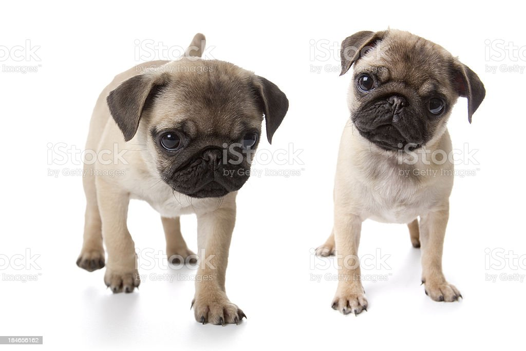 Pug Puppies On White Background Stock Photo Download Image Now Istock