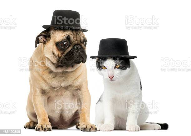 Pug puppy and cat wearing a top hat picture id483450309?b=1&k=6&m=483450309&s=612x612&h=gqghszocoz2xabyc66uokh2l595kvcvsp5zlo6e t9i=