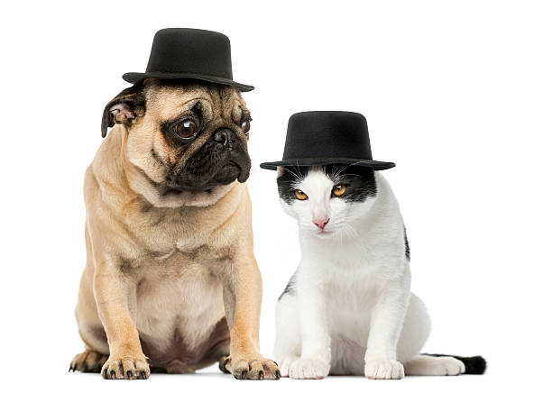 Pug puppy and cat wearing a top hat picture id483450309?b=1&k=6&m=483450309&s=612x612&w=0&h=10gjvk6upw1trhijdutarc8i to3zdr9cntl hgnar0=