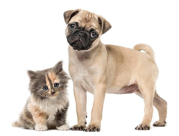 Pug puppy and European Shorthair kitten, isolated on white stock photo