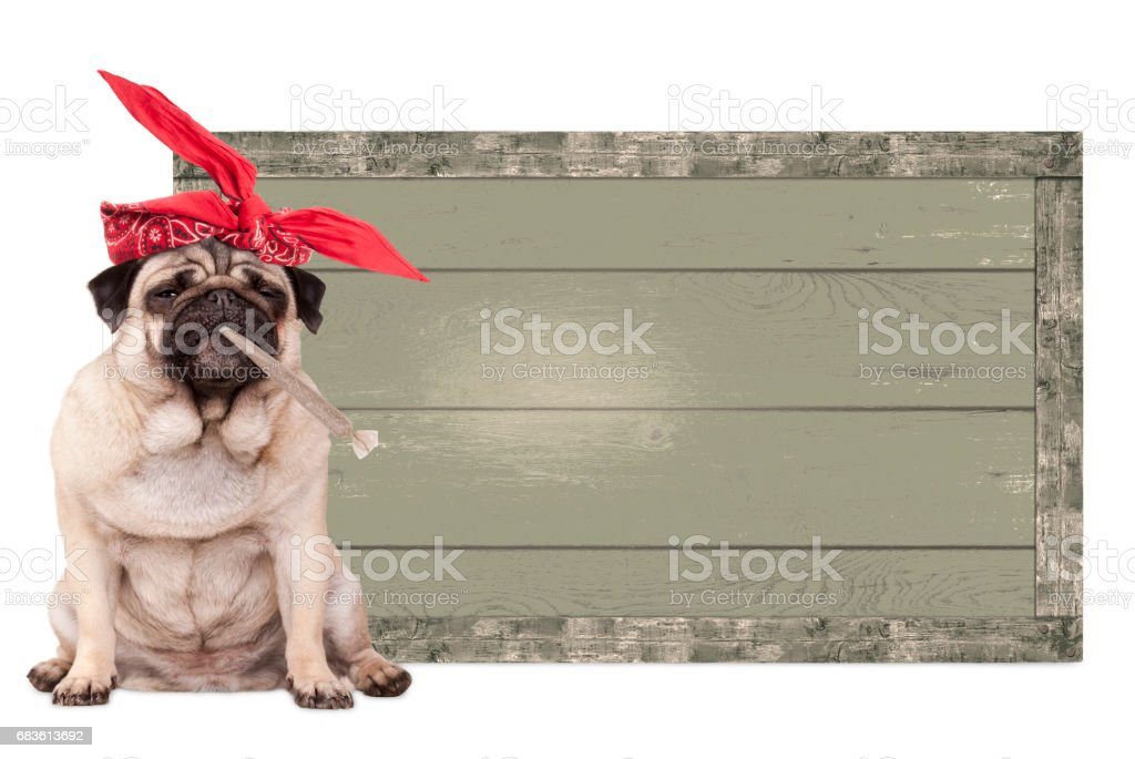 pug puppy dog being high on smoking marijuana weed joint, next to blank vintage wooden sign isolated on white background stock photo