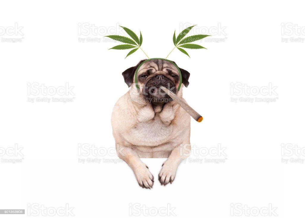 pug puppy hondje wordt hoog, roken marihuana wiet joint, het dragen van hennep bladeren DIADEEM foto