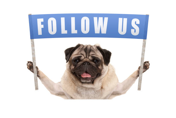 Pug puppy dog holding up blue banner with text follow us for social picture id812753996?b=1&k=6&m=812753996&s=612x612&w=0&h=tn jtrcnf3l3u2rwm ou018i 9f6kteui8gt 9zcwmo=