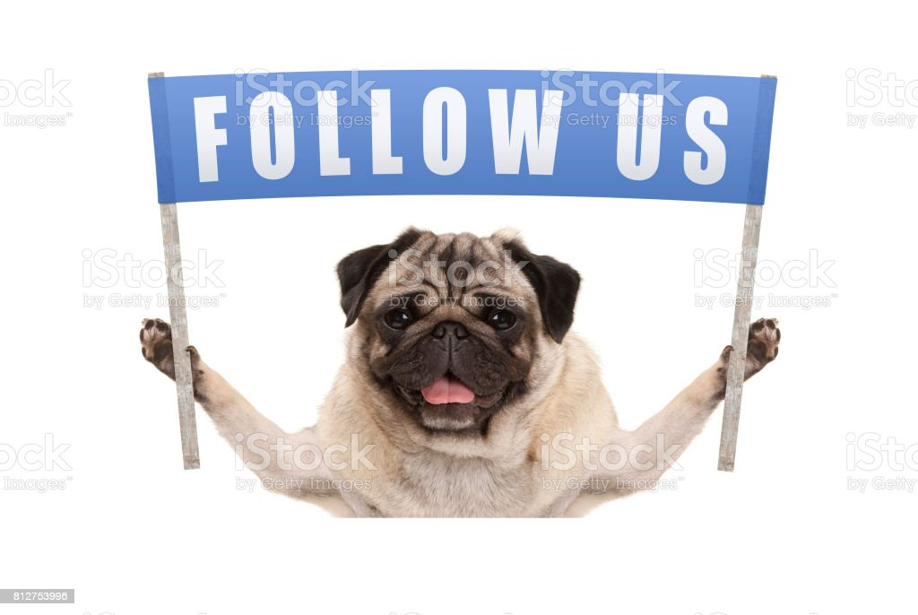 pug puppy dog holding up blue banner with text follow us for social media stock photo