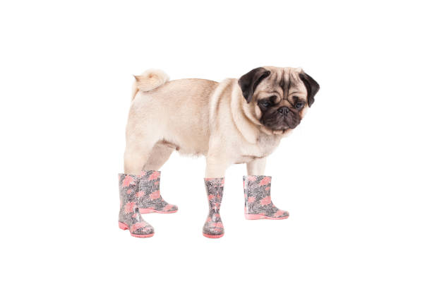 pug puppy dog standing and wearing rain boots, isolated on white background cute pug puppy dog standing and wearing rain boots, isolated on white background dog rain shoes stock pictures, royalty-free photos & images