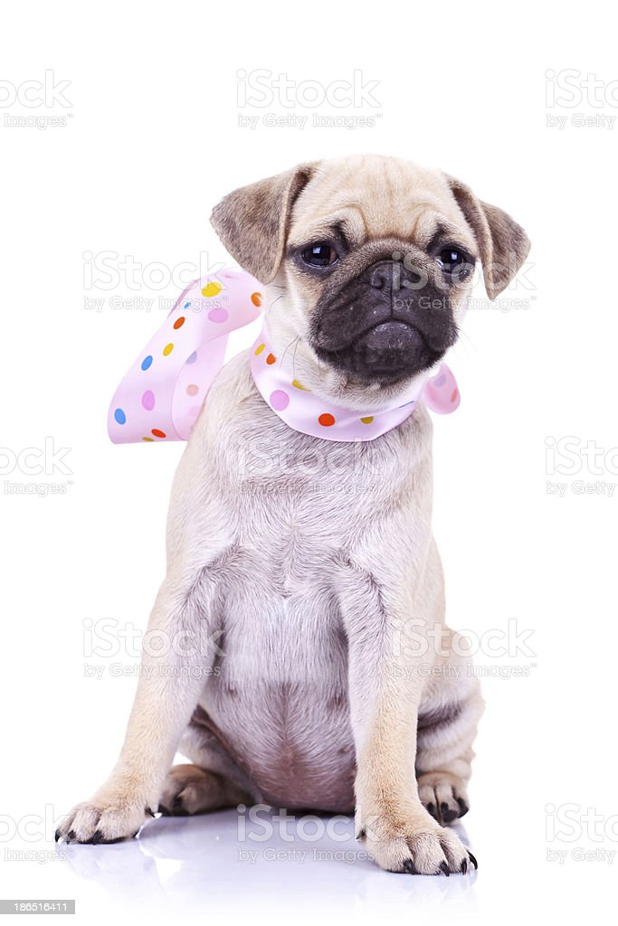 pug puppy dog with a pink scarf royalty-free stock photo