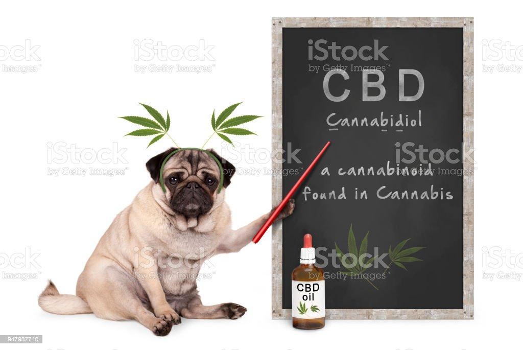 pug puppy hondje met hennep verlaat diadeem wijzend op het schoolbord met tekst CBD en druppelaar fles met oi foto