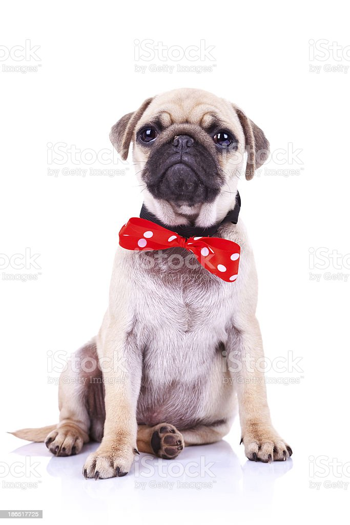 pug puppy dog with red bowtie royalty-free stock photo