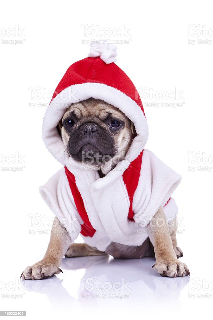 pug puppy dressed as santa royalty-free stock photo