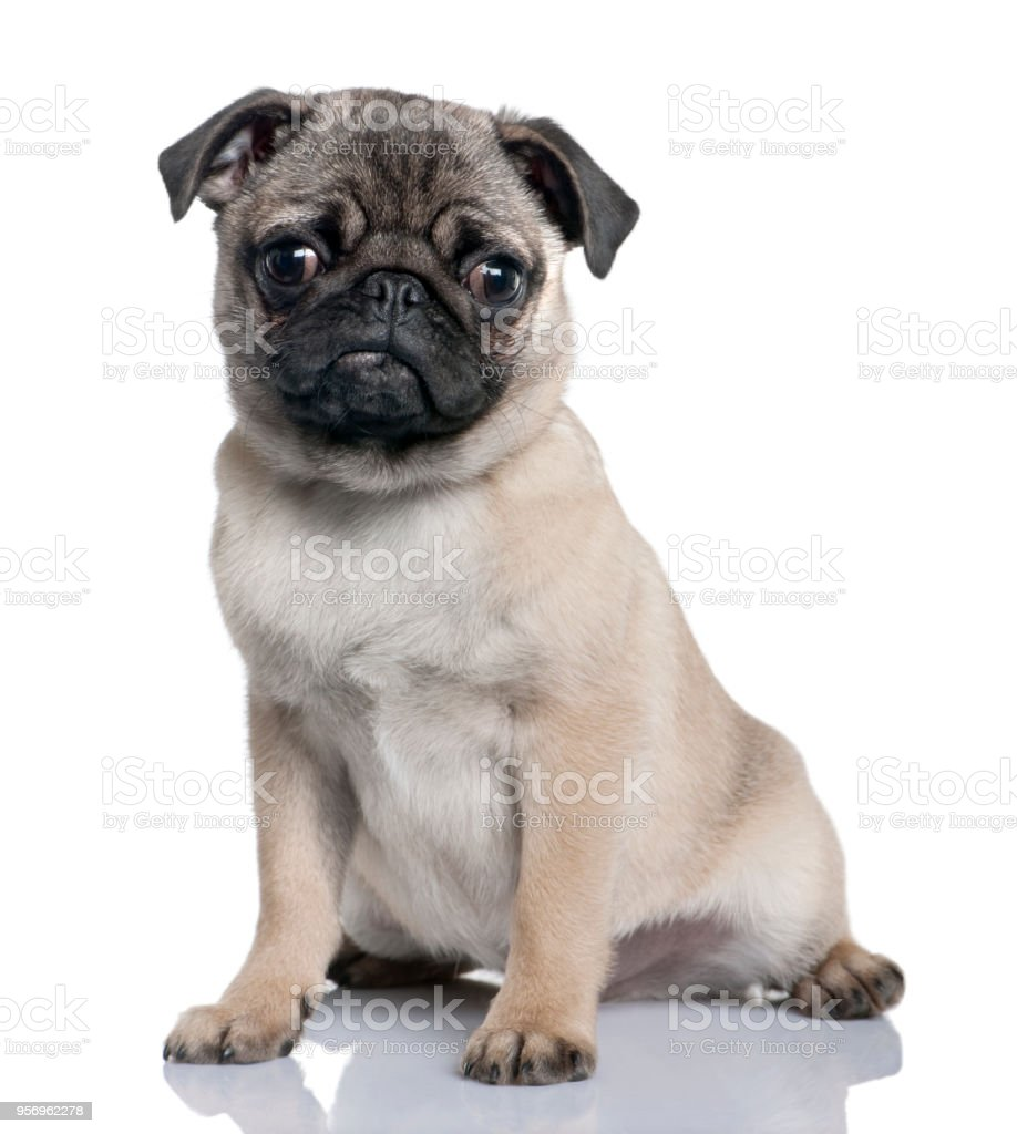 Pug Puppy In Front Of A White Backgroundn Stock Photo Download Image Now Istock