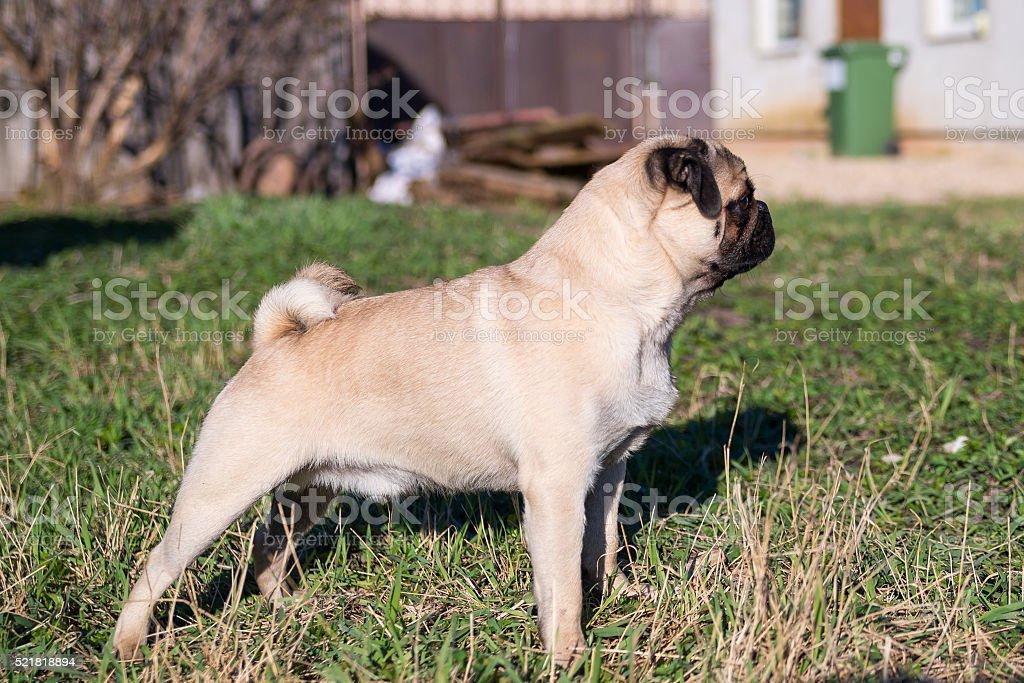 Pug puppy looking straight forward stock photo