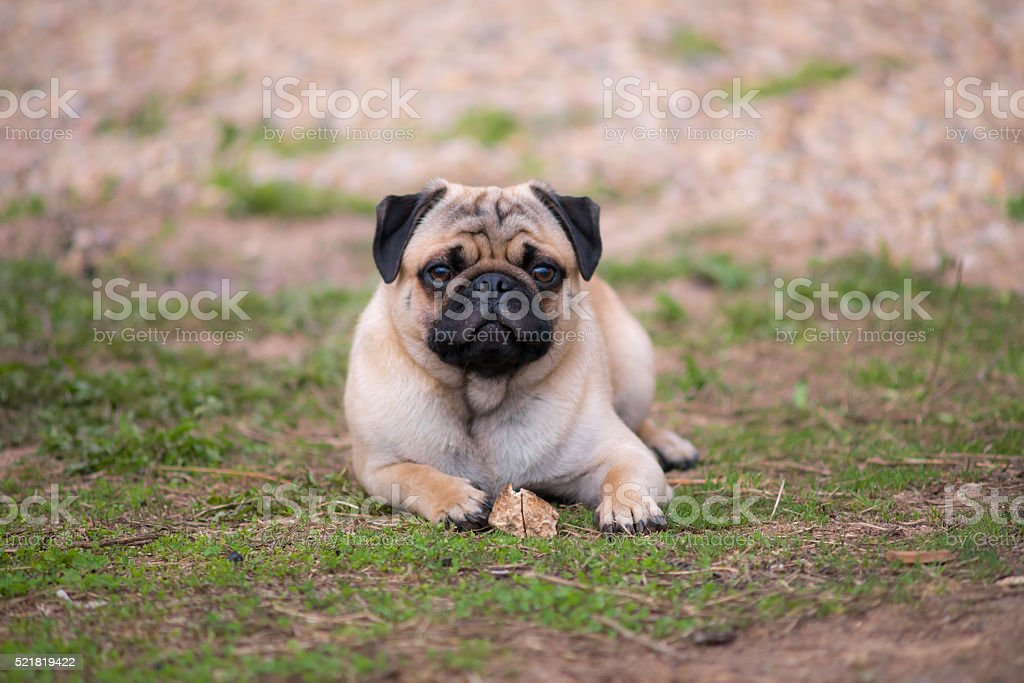 Pug puppy lying on the grass with a bone stock photo