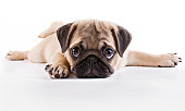 Pug puppy lying on a white background