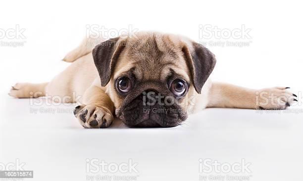 Pug puppy picture id160515874?b=1&k=6&m=160515874&s=612x612&h=nc8p1zfajw7aacpjt30if9lleq1dzap3ak1vwdh7rrs=