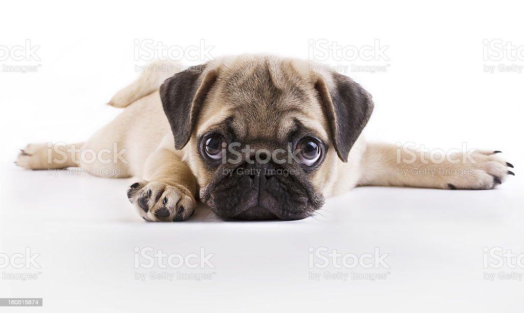 Mops puppy – zdjęcie
